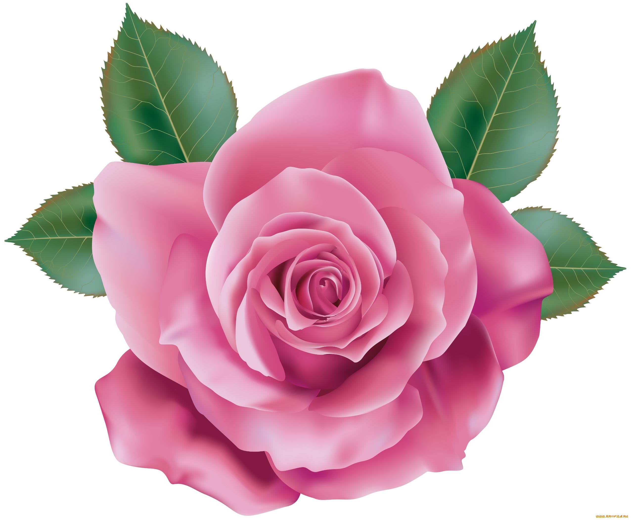 сильной цветы розы картинки на прозрачном фоне начинка